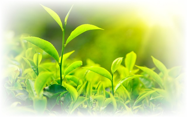 7007262-green-tea-leaves